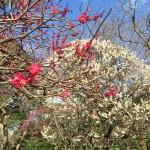 戸定が丘歴史公園。松戸駅から徒歩10分のところにある梅の見どころ