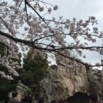 上野でお花見と動物園を楽しんできました!